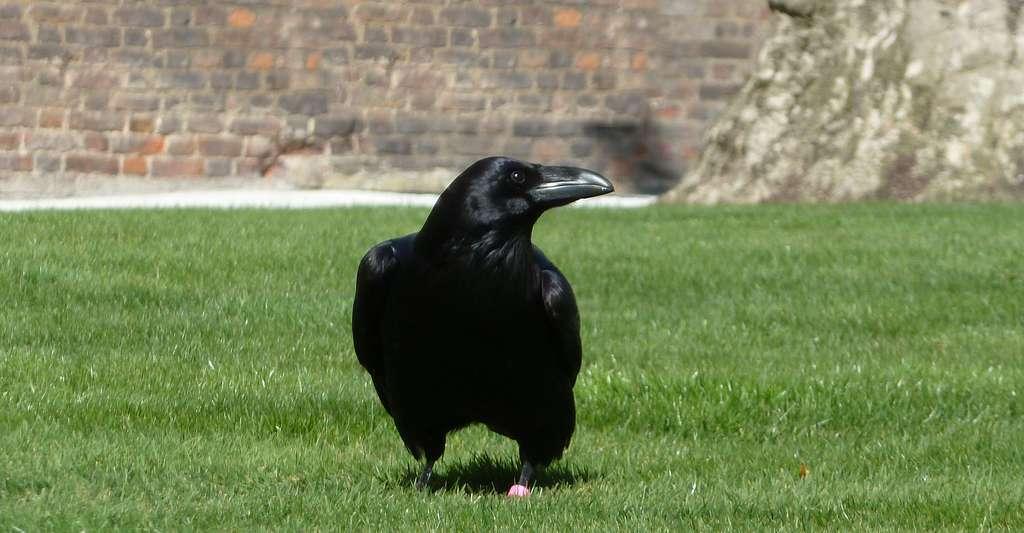 Grand corbeau. © Leo Moser, Wikipedia, CC by - sa 3.0