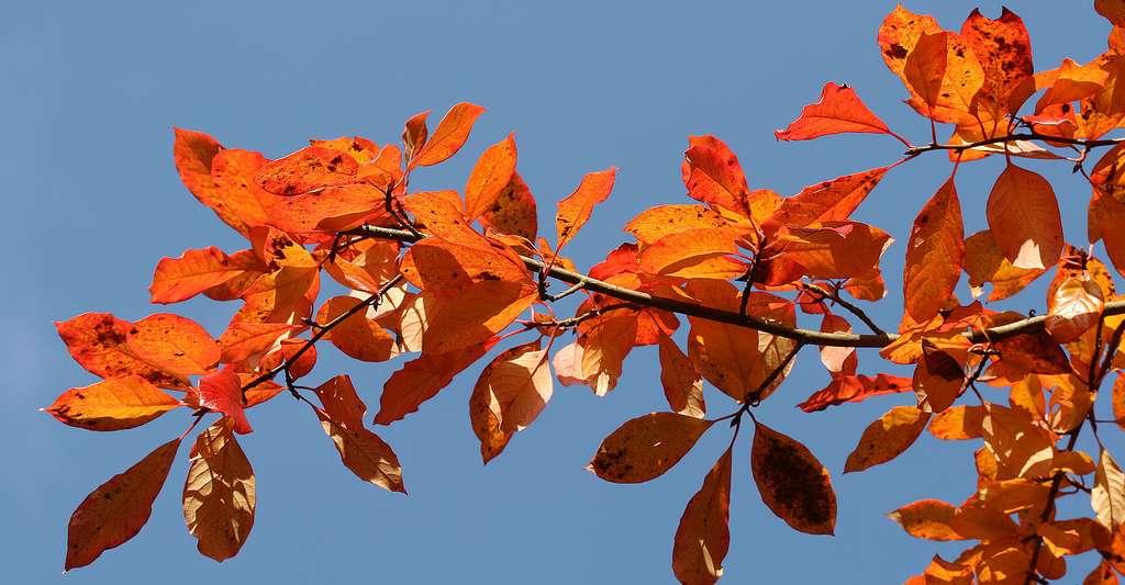 Feuilles du nyssa sylvestre ou tupélo noir (Nyssa sylvatica). © Jean-Pol GRANDMONT, CC by-sa 3.0