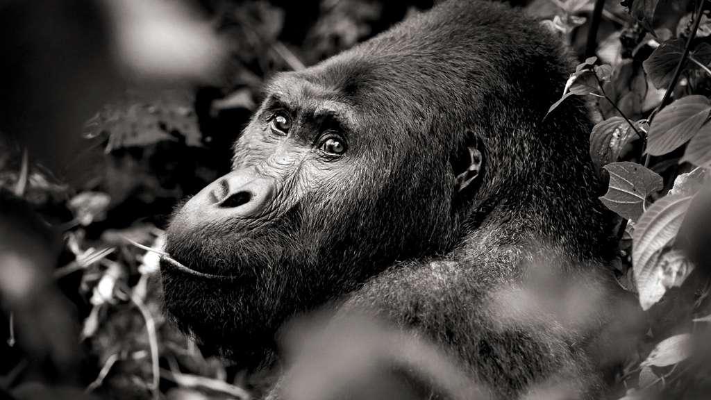 Chimanuka mâle adulte gorille de Grauer