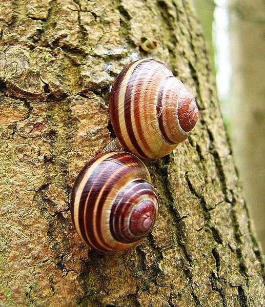 Les escargots sont hermaphrodites, ce qui veut dire qu'ils possèdent des gamètes mâles et femelles. Ils pratiquent la fécondation croisée et, semble-t-il, y prennent du plaisir... © Andrew Dunn, Wikipédia, cc by sa 2.5