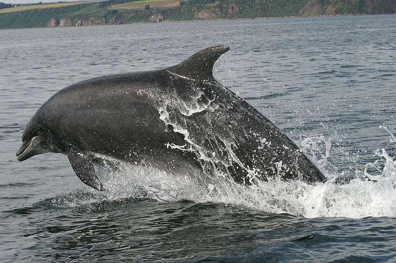 Saut d'un grand dauphin. © Rene, domaine public