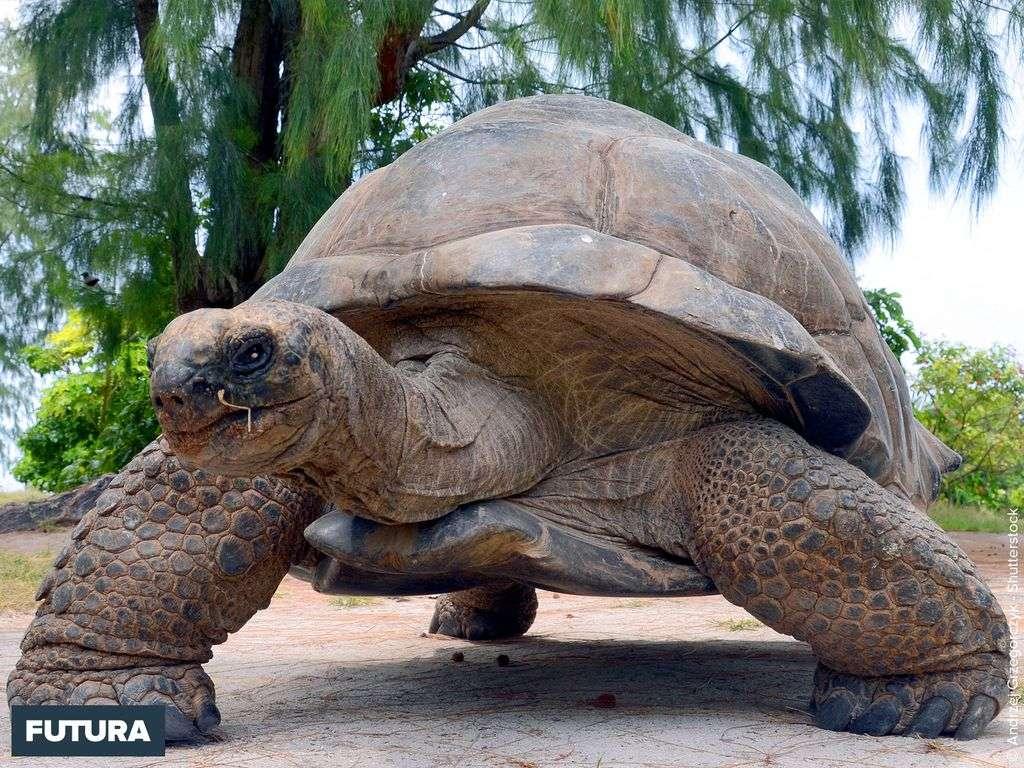 Tortue géante des Galapagos Geochelone gigantea