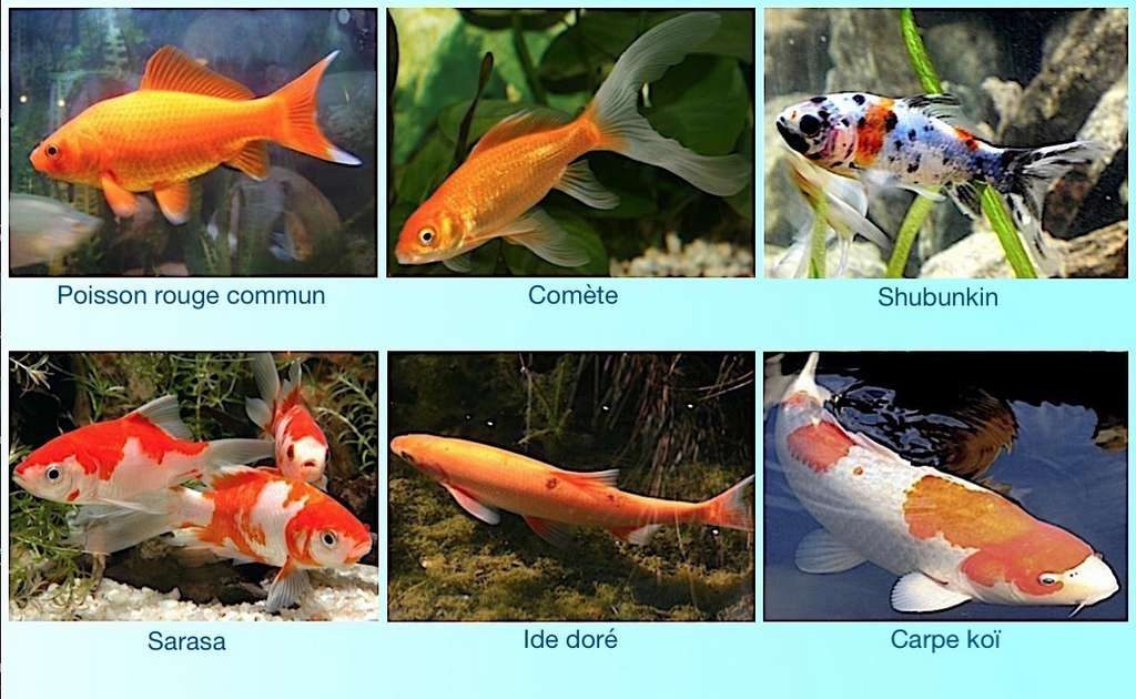 L'Asie est la terre d'origine d'une majorité de poissons d'ornement. © aquajardin.net