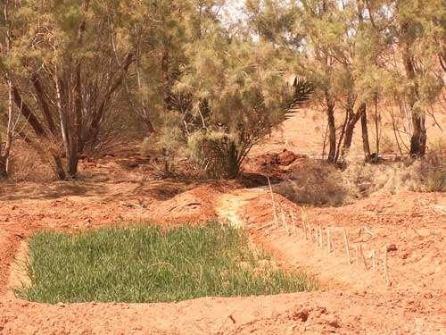 Station expérimentale de Zerzé au Maroc, à proximité de l'agglomération de Yerdi : expérimentation d'une parcelle de blé sur sol salé, cultivé avec de l'eau salée. Stade de levaison qui semble réussi.