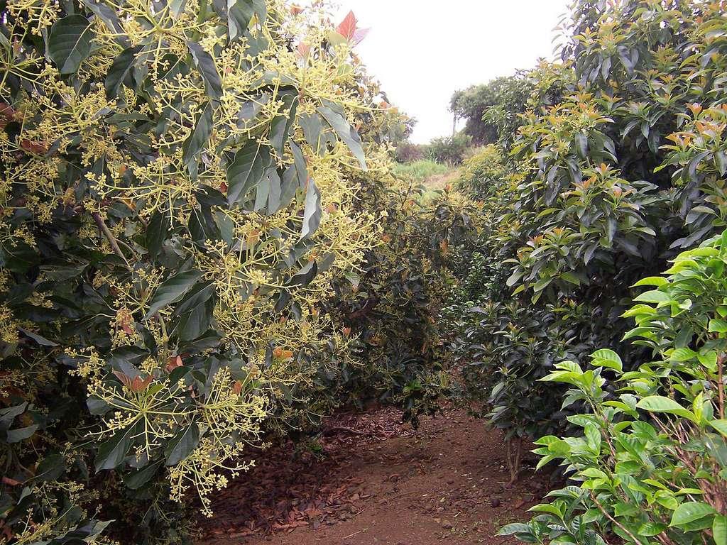 L'avocatier, un arbre des tropiques humides qui devient furieusement tendance. © B.Navez, Wikimedia commons, CC 3.0
