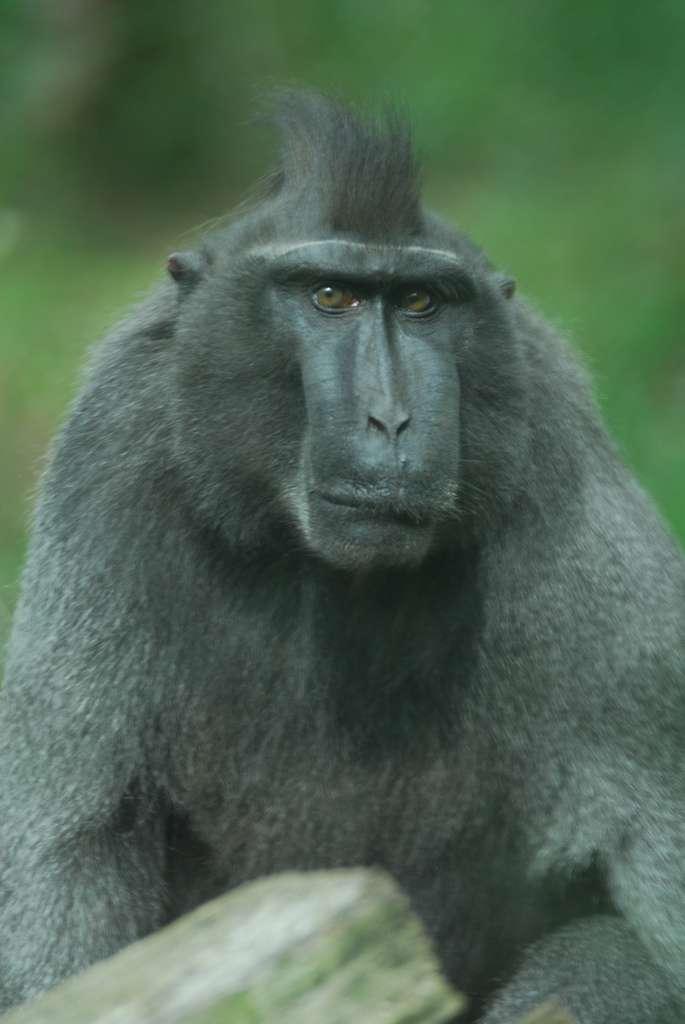 Macaque à crête portrait. © Eric Kilby, CC by-SA 2.0