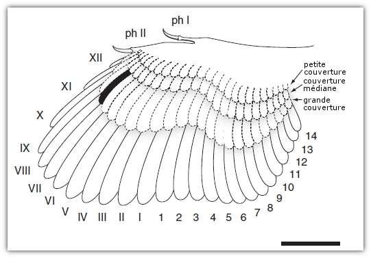 Reconstitution de l'aile d'archéoptéryx. En pointillés, les tectrices (ou plumes de couverture, qui forment le duvet et qui, sur l'aile, recouvrent le calamus des autres plumes, les rémiges). En trait plain, les rémiges primaires (de I à XII) et secondaires (de 1 à 14). En noir, l'emplacement de l'aile étudiée, selon les chercheurs. Les phalanges (Ph I et Ph II) sont également représentées. Barre d'échelle : 5 cm. © Ryan Carney et al. 2012, Nature Communications
