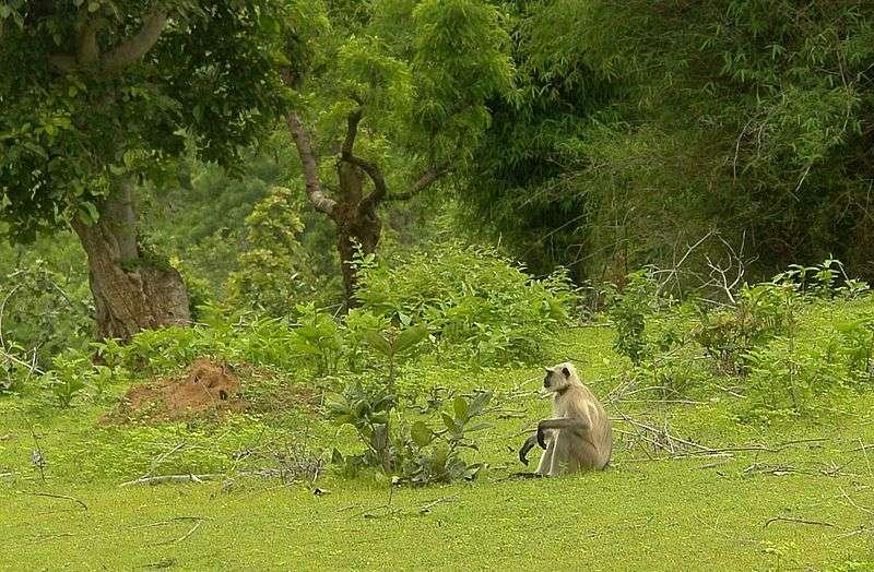 Habitat type de l'entelle des Indes. © Yann, GNU FDL Version 1.2