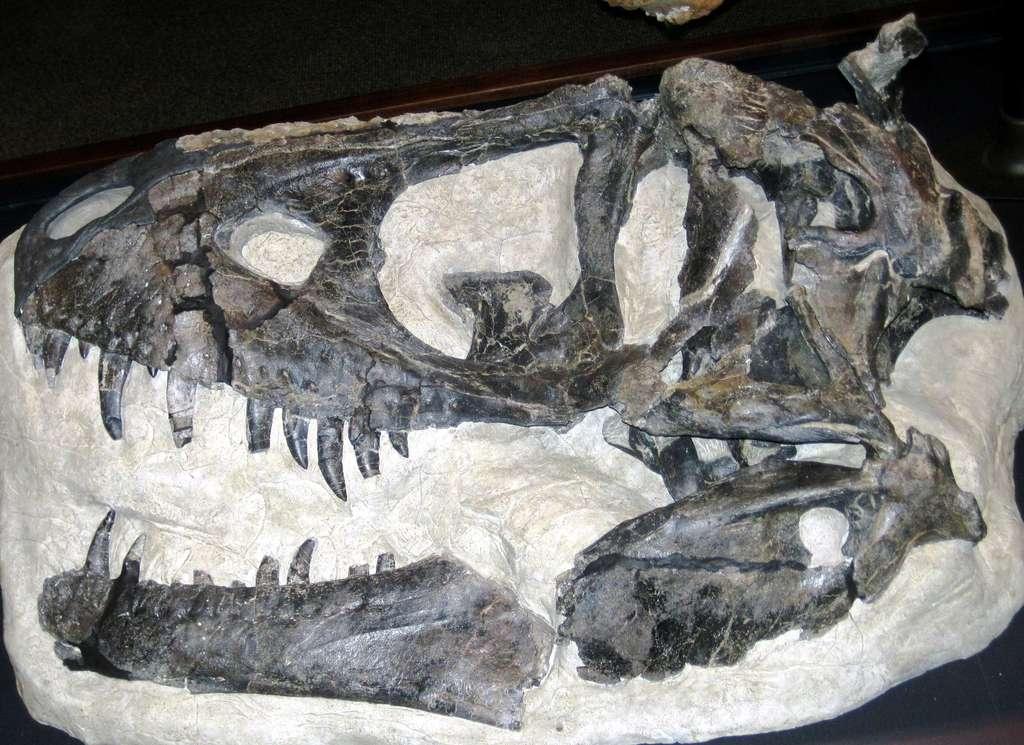 Le fossile de Daspletosaurus horneri qui sert de référence pour définir cette espèce se trouve au musée des Rocheuses, Bozeman, Montana, États-Unis. © James St. John, cc by sa 20