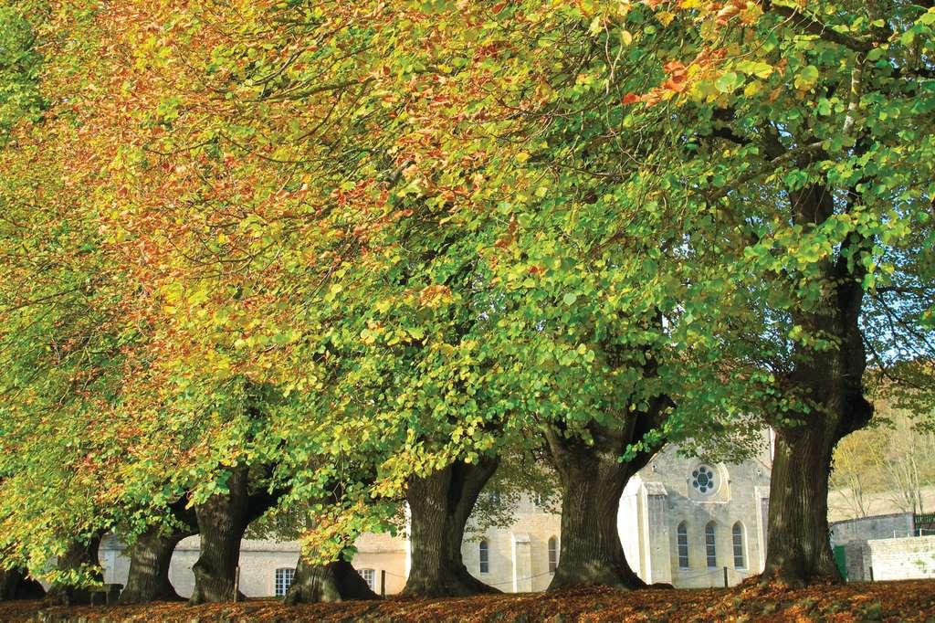Les tilleuls de l'abbaye de Noirlac dans le Cher