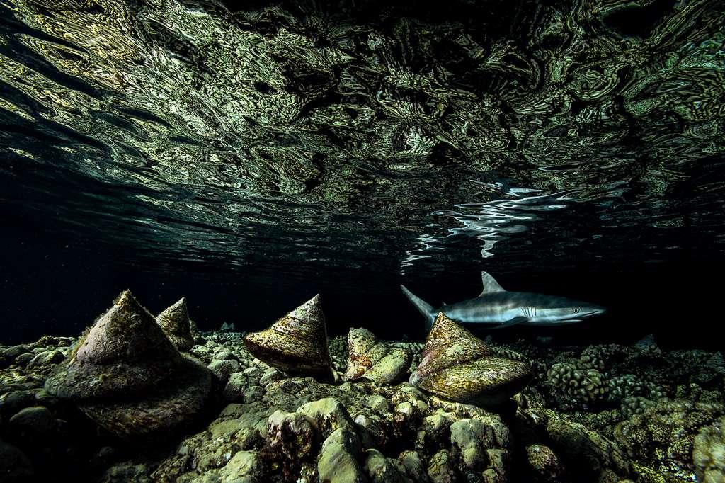 Ces coquilles en forme de cônes étaient si recherchées — pour la bijouterie ou la fabrication d'objets d'art — que l'espèce a été l'espèce invertébrée la plus commercialisée au monde. Au fond, l'un des principaux prédateurs de l'atoll corallien de Falarava (Polynésie française) : le requin. © Laurent Ballesta, Wildlife Photographer of the Year 2020