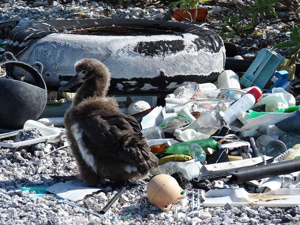 Poussin albatros nichant au milieu d'objets en plastique. © Forest & Kim Starr, CC by-nc 3.0