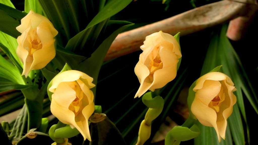 Anguloa, une orchidée-tulipe d'Amérique tropicale