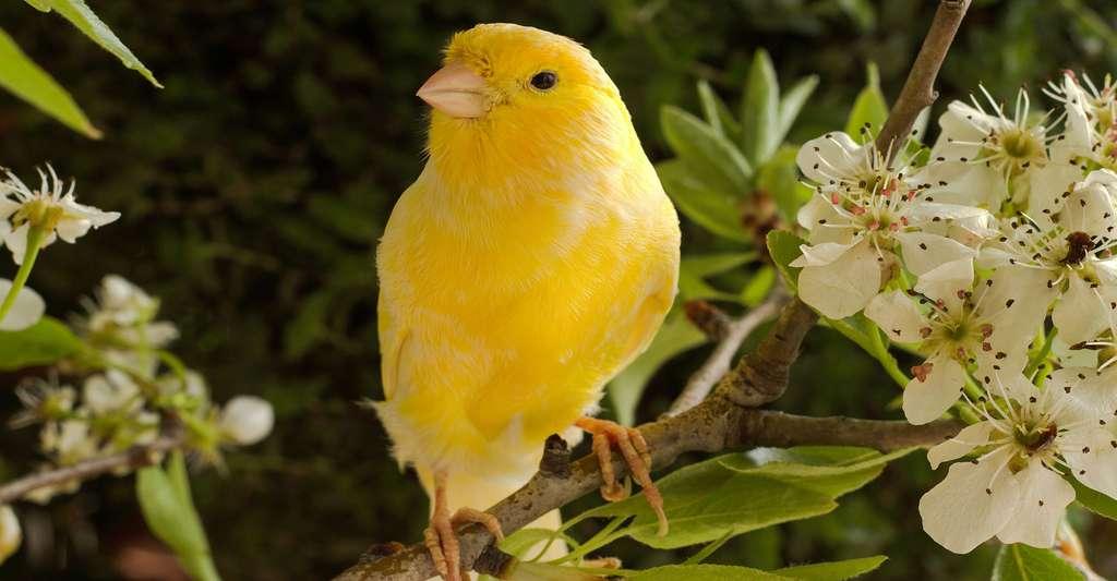 Qu'est-ce que la mémoire sémantique ? Le canari est jaune : on le sait car l'information « jaune » est stockée. © Terentieva Yulia, Shutterstock