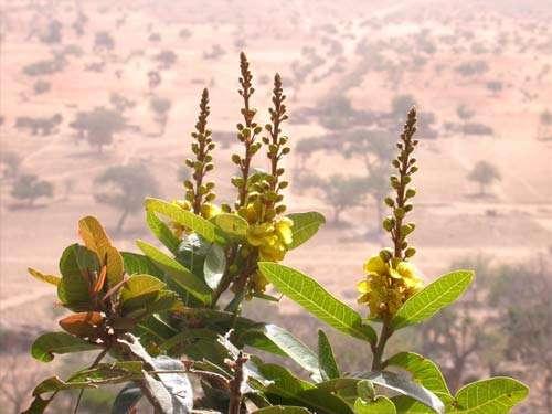 Malpighiaceae - Acridocarpus monodii (Arenes & Jaeger) ex Birnbaum & Florence. Endémique du pays Dogon, Yabatalu, falaise de Bandiagara (Mali) © Photo Philippe Birnbaum, 2002 - Tous droits de reproduction réservés