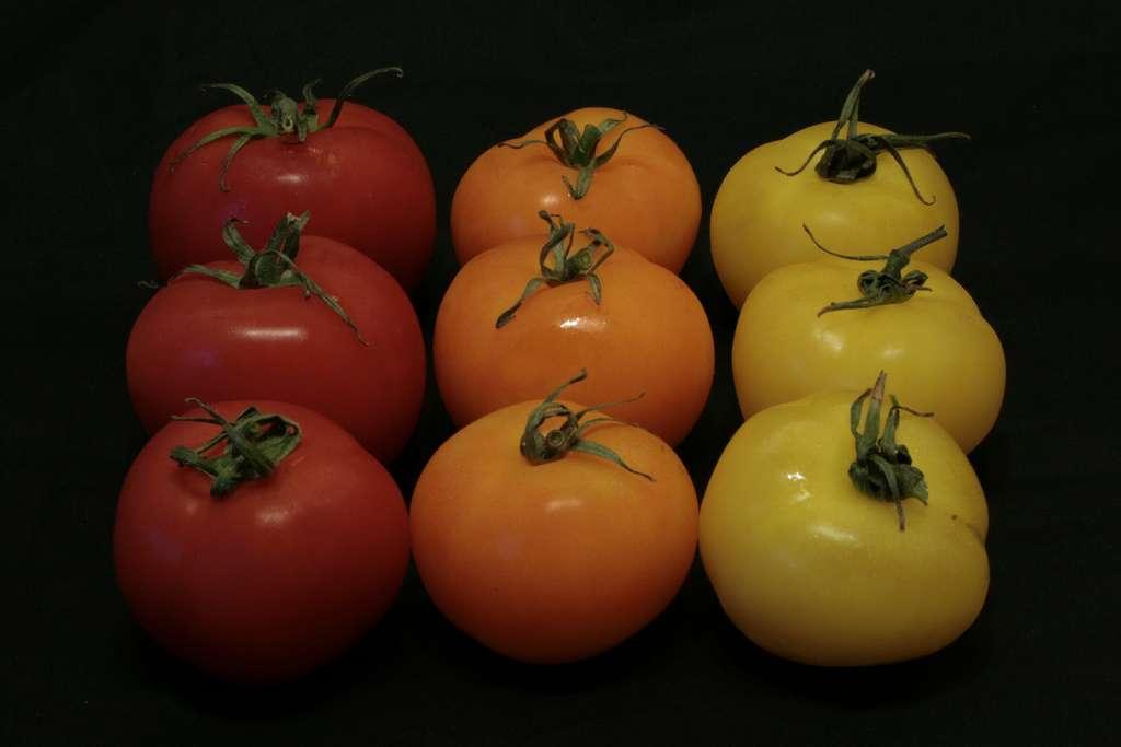 Quelques couleurs de tomates, avec notamment des tomates jaunes à droite. © Franck Chicot, Flickr, CC by-nc-sa 2.0