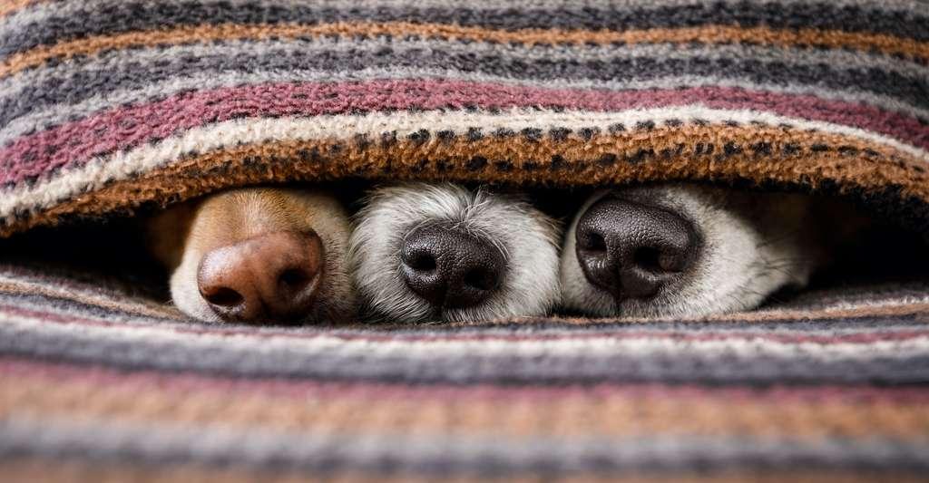 Votre chien a le nez froid? C'est pour mieux détecter les sources de chaleur dans son environnement. © Javier brosch, Adobe Stock