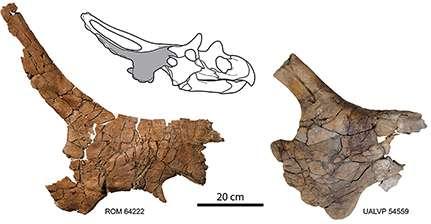 Les restes fossiles du côté droit du crâne du Mercuriceratops gemini. © Naturwissenschaften