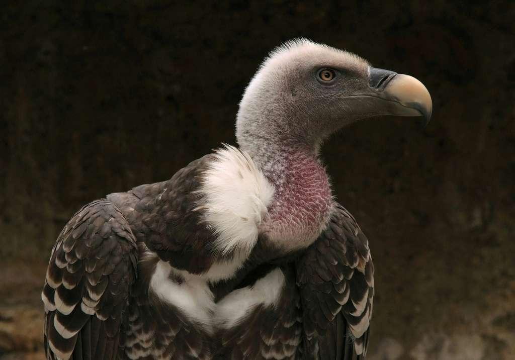 Le vautour de Rüppell est un champion des vols les plus hauts! Rencontré par des avions de ligne à quelque 11.300 mètres d'altitude, il est probable qu'il puisse monter encore plus haut! © Marie Capitain, fotolia