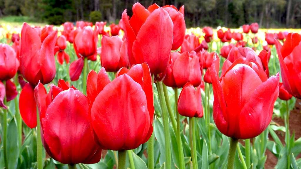 Photo d'un champ de tulipes rouges