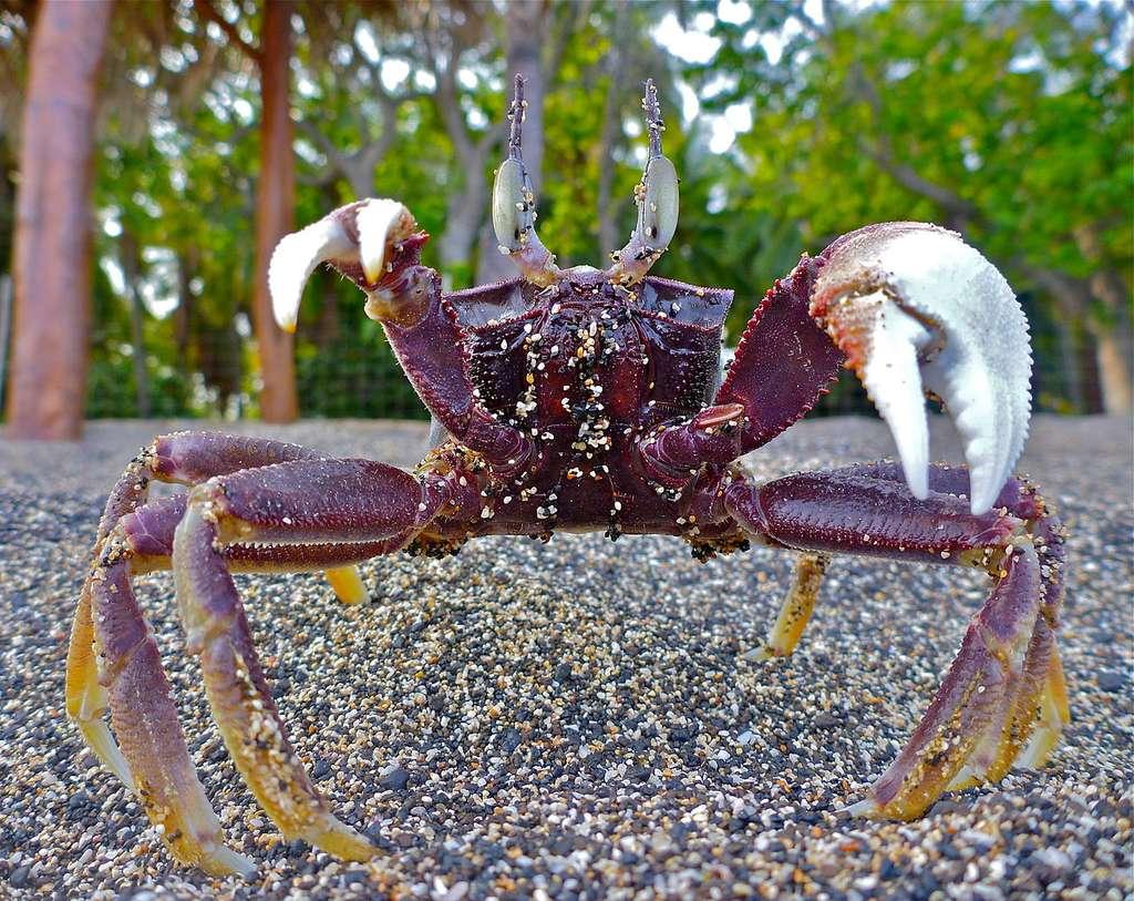 Gros plan sur un Ocypode ceratophthalmus en position d'intimidation à Hawaii. On voit la différence de taille des pinces. © Steve Jurvetson, Wikipedia, CC by 2.0