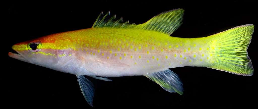 L'adulte découvert au large de Curaçao, en photo ici, est doré et porte des points jaunes, son ventre est pâle voire blanc. © Baldwin CC, Johnson GD (2014), Plos One, cc by 2.5