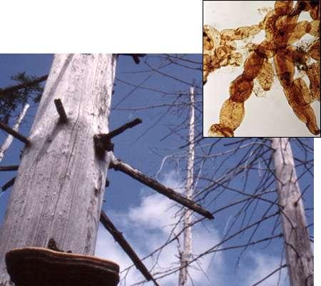 Des champignons auraient accéléré l'extinction des conifères à la fin du Permien. © Mark Sephton (arbres)/Cindy Looy (champignon en incrustation)