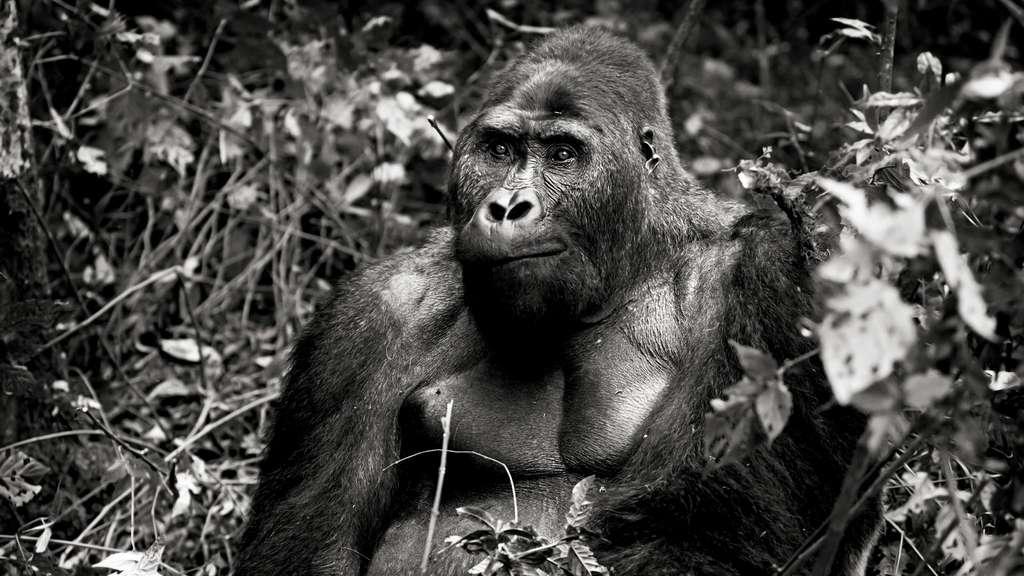 Les gorilles de Grauer sont les plus gros primates au monde