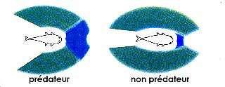 Champ de vision d'un poisson. Les prédateurs (à gauche de l'image) ont les yeux placés vers l'avant afin de repérer les proies ; ils n'ont pas besoin de voir derrière eux. Les non-prédateurs (à droite de l'image) ont des yeux placés latéralement pour mieux voir les prédateurs à leur poursuite. La zone bleue représente la vision 3D, plus large chez les prédateurs ; la zone verte correspond à la vision latérale, une zone de vision moins précise, utilisée pour la surveillance, la vigilance. © Aquabase, Fitzz, CC by-sa 2.0