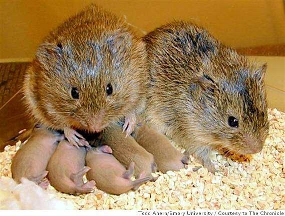 À l'inverse du campagnol des montagnes, le campagnol des prairies (Microtus ochrogaster) est monogame. Chez cette espèce, l'ocytocine contribue à la fidélité et à la solidité du couple. © TheNerdPatrol, Flickr, cc by 2.0