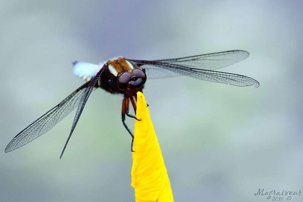 Les libellules, ou odonates, sont des prédateurs qui chassent efficacement grâce à leurs gros yeux. Leurs larves se développent dans les cours d'eau et deviennent terrestres à l'âge adulte. Durant leur développement larvaire, les libellules sont menacées par les pesticides. © Magraiveur Marc, Flickr, cc by nc nd 2.0