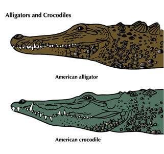 Différences entre un crocodile et un alligator. © Domaine public
