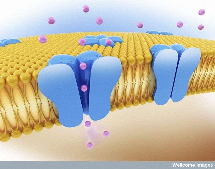 Les membranes cellulaires sont composées d'une bicouche de phospholipides dans laquelle sont enchâssées des protéines. © Wellcome Images, Flickr, CC by-nc-nd 2.0
