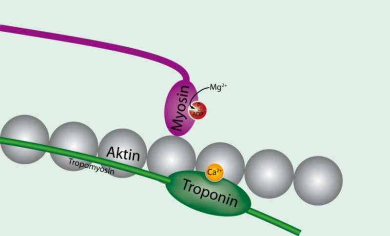La troponine liée au calcium permet l'adhésion de la myosine à l'actine, entraînant la rigidité cadavérique. © Adhanali, Wikimedia, CC by-sa 3.0