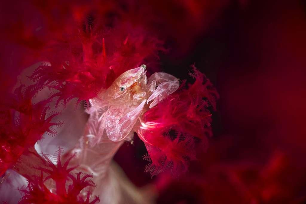 Petit crabe des coraux mous épineux (Lissoporcellana sp). © Gabriel Barathieu, tous droits réservés