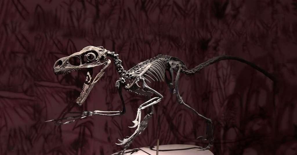 La géochimie isotopique peut être appliquée aux dinosaures. Ici, Bambiraptor, un petit dinosaure dromaeosauridé de la fin du Crétacé qui vécut aux États-Unis. © Thesupermat, CC by-sa 3.0