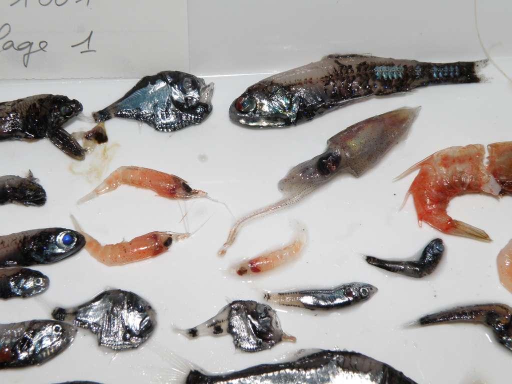 Une récolte de micronecton lors de la campagne Nectalis 1 : des petits poissons, des crustacés (euphausiacés) et un céphalopode (calmar). Ce sont les prédateurs du zooplancton, dont celui-ci se protège en plongeant le jour à l'abri de la lumière du soleil. © IRD-SPC