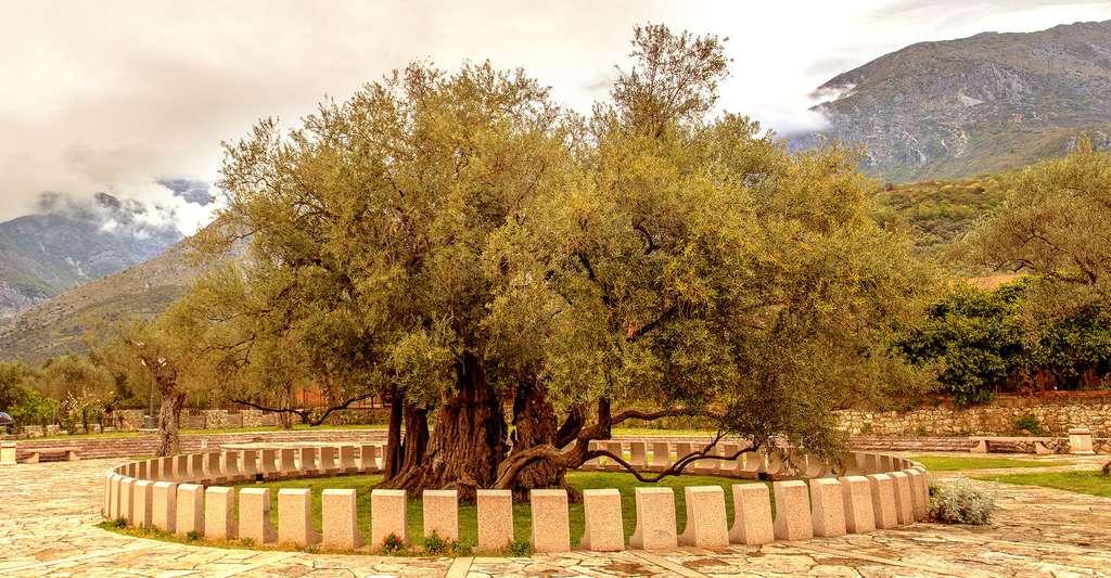 L'olivier (Olea europaea) : taille et entretien. L'olivier sur cette photo est l'un des plus vieux d'Europe, avec plus de 2.000 ans. © Zabijako Sergej, Wikimedia Commons, CC by-sa 4.0