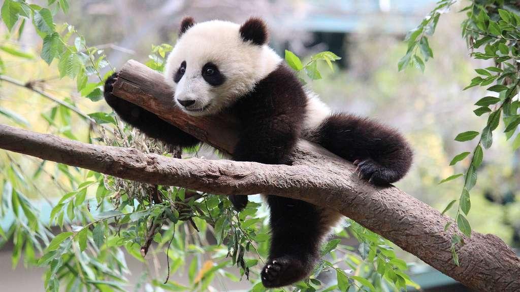 Le panda, tout un symbole