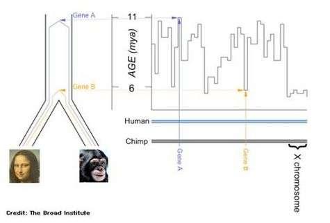 Certaines parties du génome se seraient différenciées bien plus récemment que d'autres, notamment le chromosome X, dont le dernier changement ne daterait que de 5,4 millions d'années