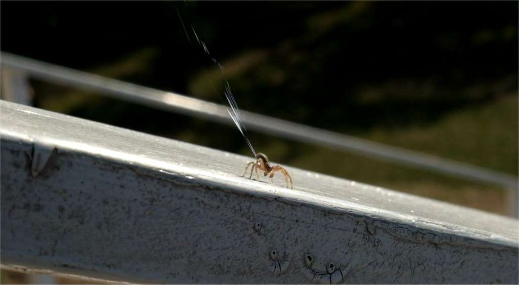 Vent horizontal inférieur à 3 m/s. Courant ascendant suffisant. Décollage immédiat. Dans peu de secondes, cette araignée-crabe du genre Xysticus va s'envoler, emportée par ses fils de soie. © Moonsung Cho et al., Plos Biology
