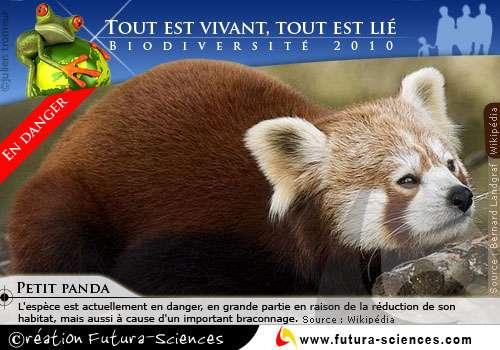 Petit Panda en danger