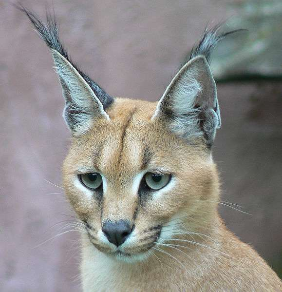Caracal. © € Van 3000, Creative Commons Attribution-Share Alike 2.0 Generic license
