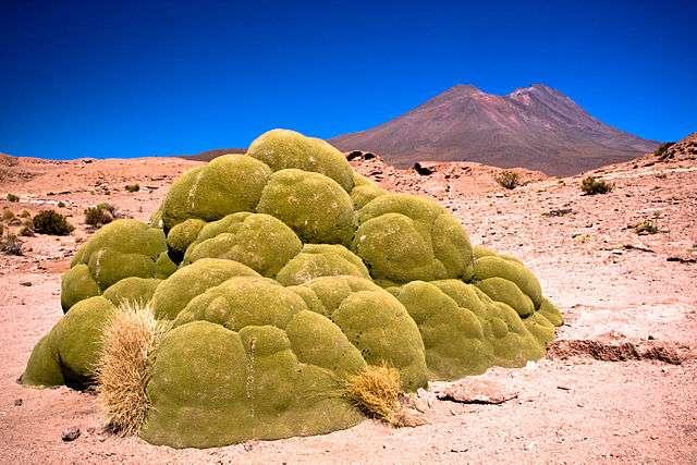 Azorella compacta, aussi connue sous le nom de yareta, pousse en Amérique du Sud entre 3.200 et 5.000 mètres d'altitude. Sa pousse est très lente (un millimètre par an) et sa longévité atteint 3.000 ans. © Pedro Szekely, Wikimedia Commons, CC by-sa 2.0