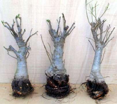 Baobabs (Adansonia digitata) âgés de plus de 20 ans cultivés sous forme de bonsaï. © Végétaux d'Ailleurs International