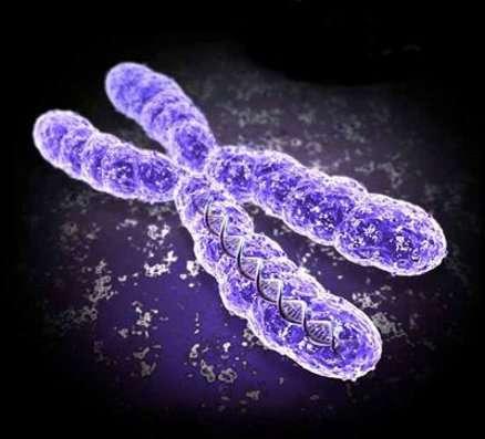 Présent sous deux exemplaires chez les femmes et un seul chez les hommes, le chromosome X est parfois responsable de maladies chromosomiques ou génétiques qui peuvent être particulièrement graves. © DR