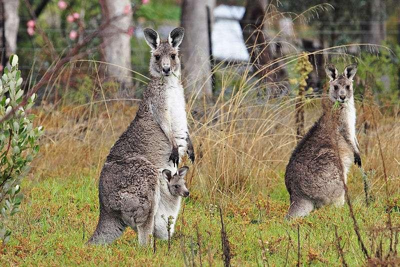Kangourous géants et un jeune dans la poche marsupiale de sa mère. © fir0002/flagstaffotos, Wikipédia, GNU 1.2