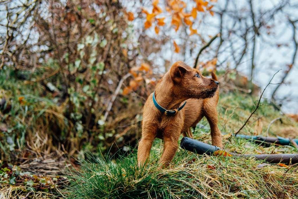 L'Irish terrier déterre les renards et blaireaux hors leur trou. © stevewithouck, Flickr