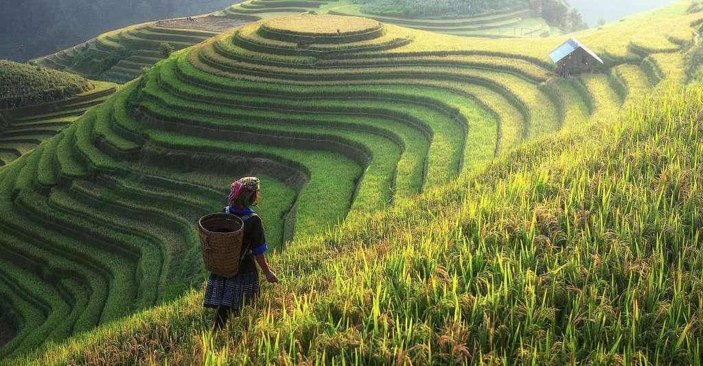 Le riz est une plante fascinante. Ici, des rizières en terrasses, en Asie, dessinant de véritables œuvres d'art. © Sasint, Pixabay, DP