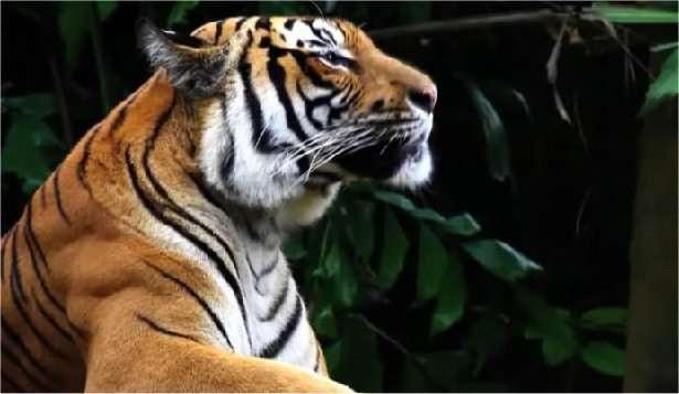 Il ne reste que 3.200 tigres dans le monde. Le WWF, par la voix de Yannick Noah, nous l'explique dans une vidéo.